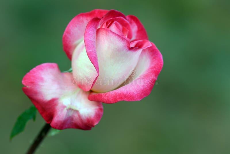 Download The Rose stock image. Image of white, seasonal, nature - 35419035