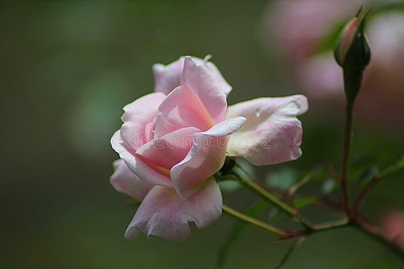 Rose Close Up Photography rose photos stock