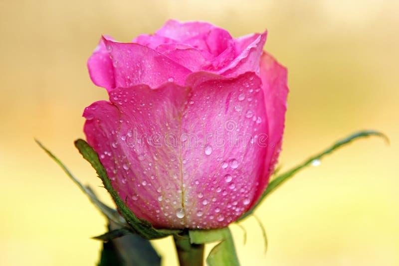 Download Rose stock image. Image of celebration, love, bright - 70141645
