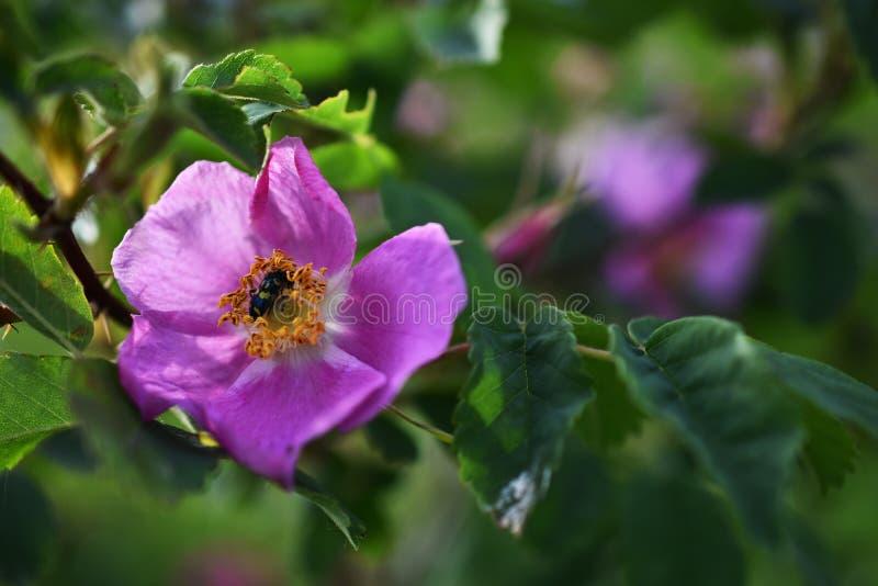 Rose Close Up salvaje rosada foto de archivo