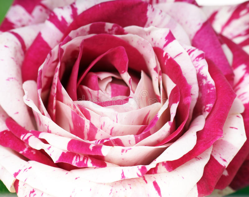 Download Rose stock image. Image of gift, bouquet, partnership - 39500265