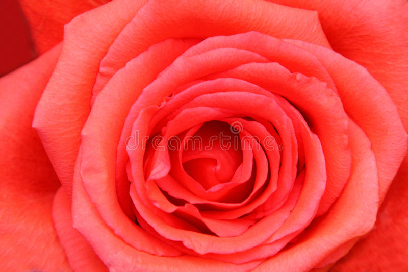 Download Rose closeup stock photo. Image of flower, abstract, gift - 10503448