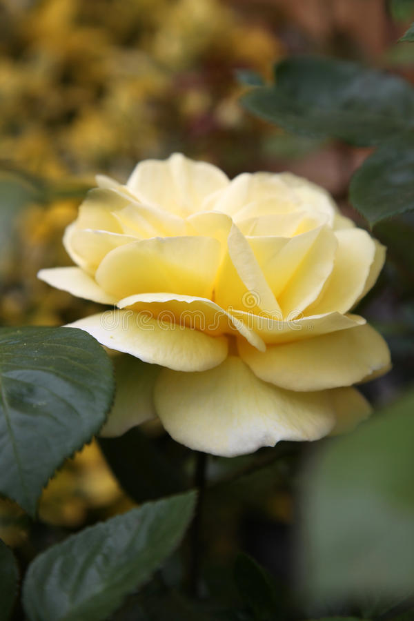 Download Closeup Of Traditional Yellow English Rose Surroun Stock Image - Image: 31700475
