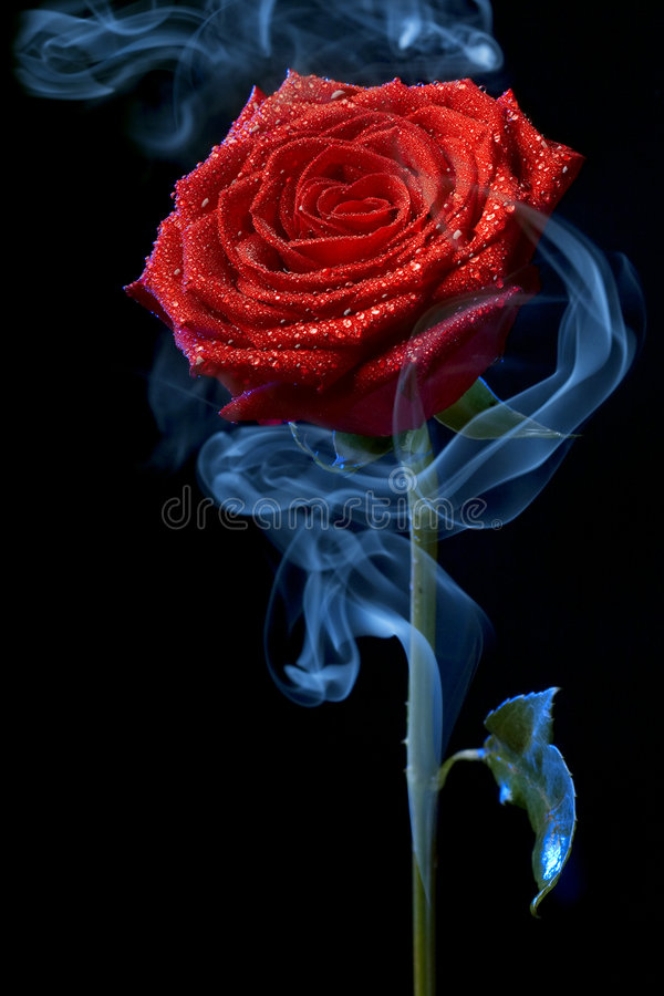 Rose in clouds of smoke stock images