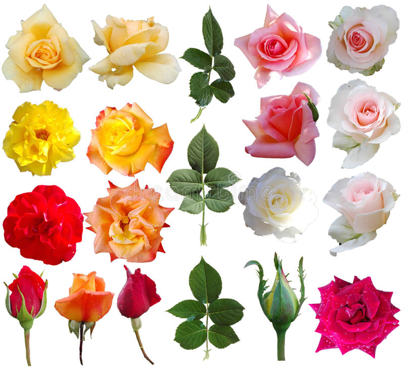 Free Rose Collection Royalty Free Stock Image - 92830226