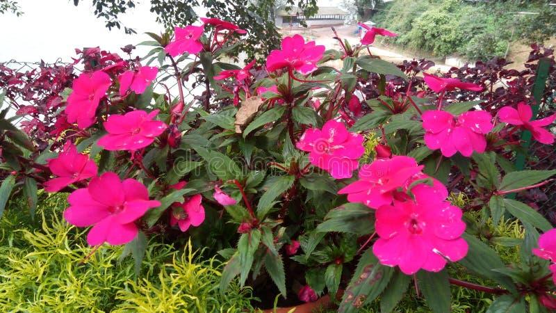 Rose a coloré le groupe de fleurs image libre de droits