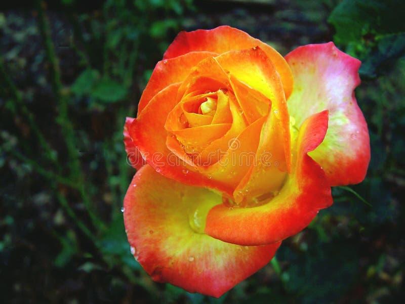 Download Rose colorée image stock. Image du botanique, pluie, rouge - 91839