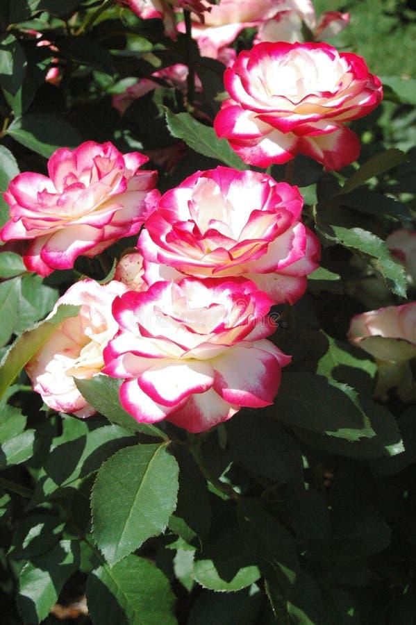 Rose colorée par sucrerie au Mississippi images stock