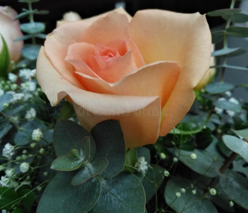 Rose color peach with eucalyptus stock images