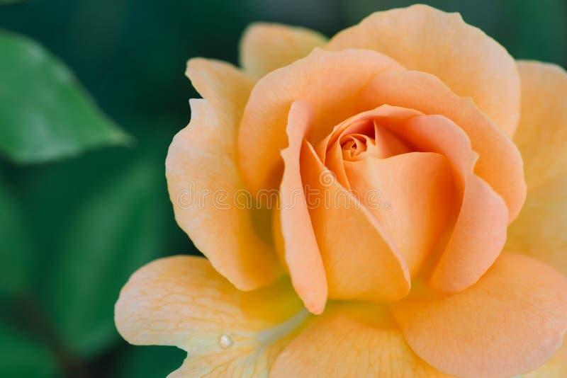 Rose coloreada melocotón con gota de lluvia fotografía de archivo libre de regalías