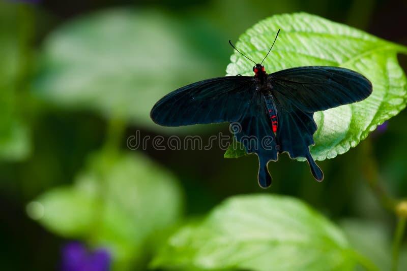 Rose común Swallowtail fotos de archivo libres de regalías