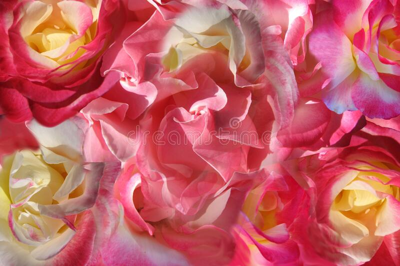 Rose Combo Background Free Public Domain Cc0 Image