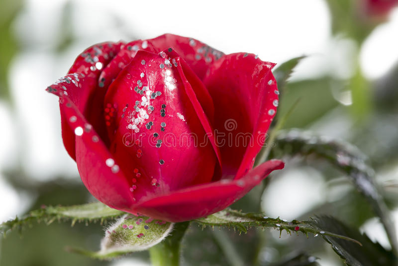 Download Rose con brillo foto de archivo. Imagen de brillo, rose - 64212932