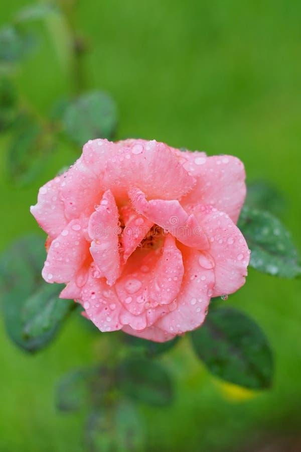 Rose con descensos de rocío imagen de archivo libre de regalías