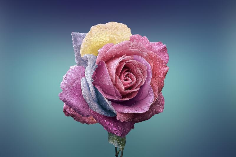 Rose Con Descensos De Rocío Dominio Público Y Gratuito Cc0 Imagen
