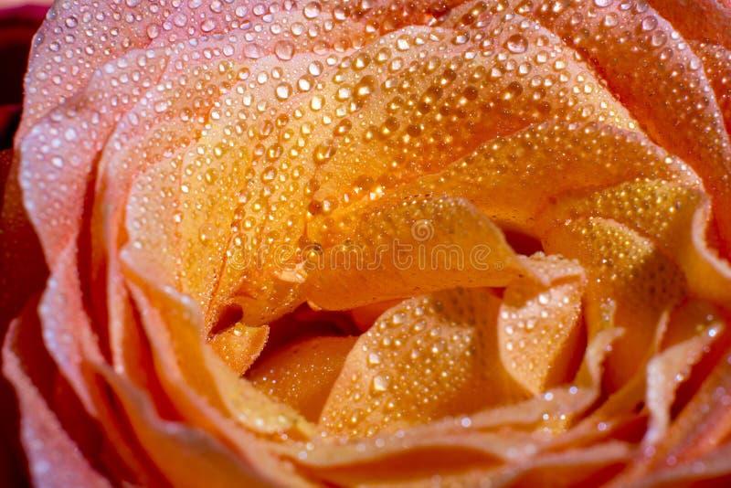 Rose con descensos de rocío foto de archivo
