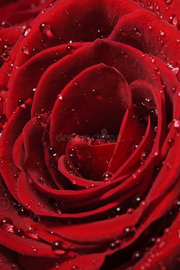 Rose con descensos del agua fotografía de archivo libre de regalías