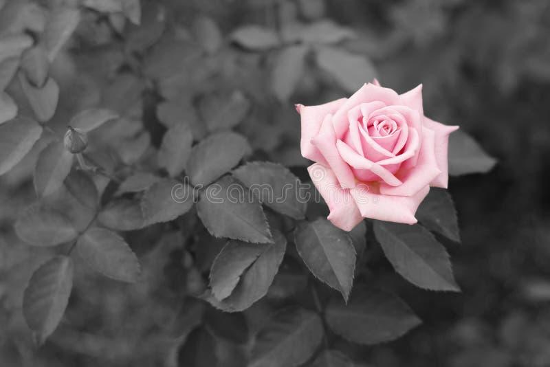Rose con el fondo blanco y negro imágenes de archivo libres de regalías