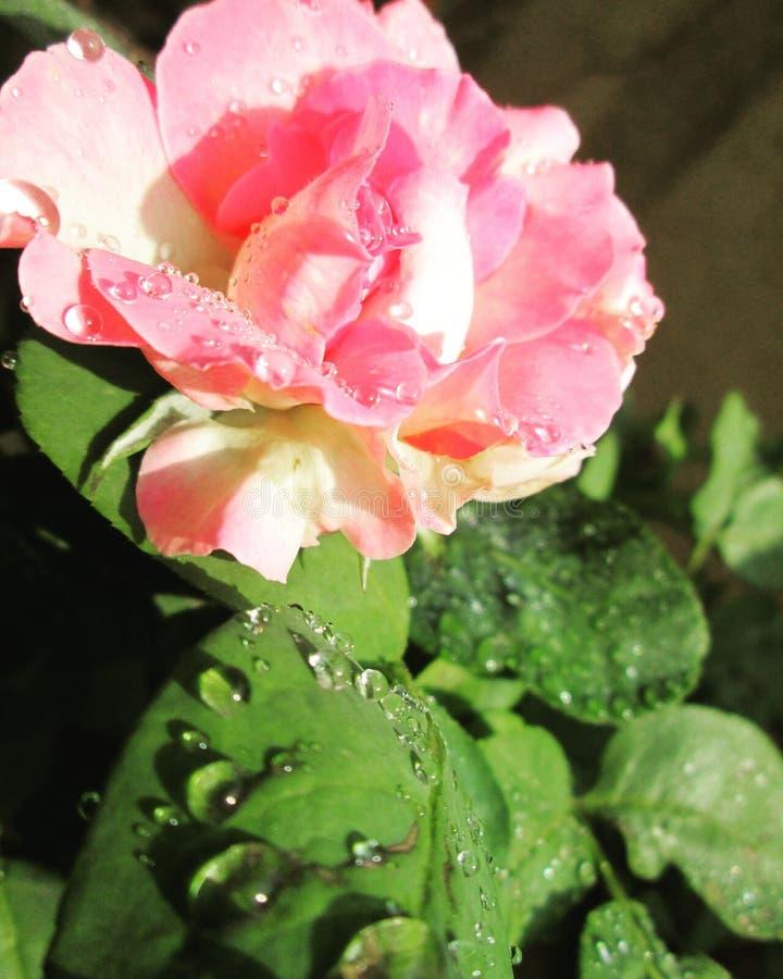 Rose con la puntilla imagen de archivo libre de regalías
