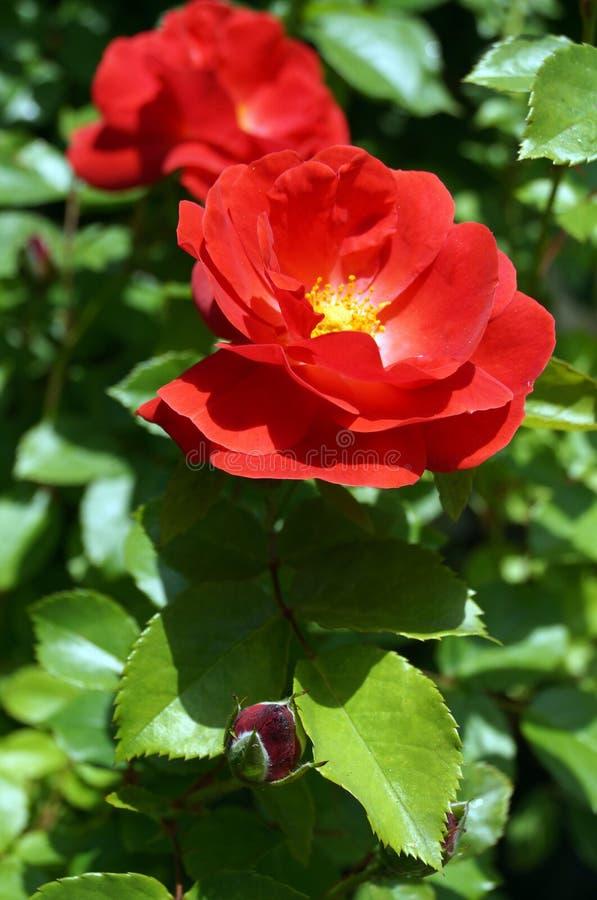 Rose con los pétalos rojos y los estambres amarillos fotografía de archivo libre de regalías