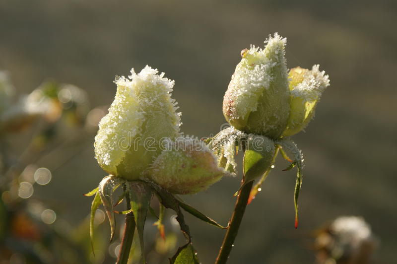 Rose congelate fotografia stock