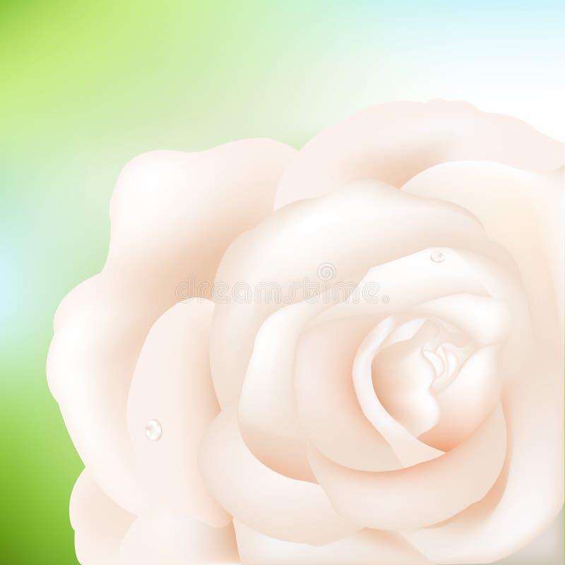 Rose crémeuse illustration stock