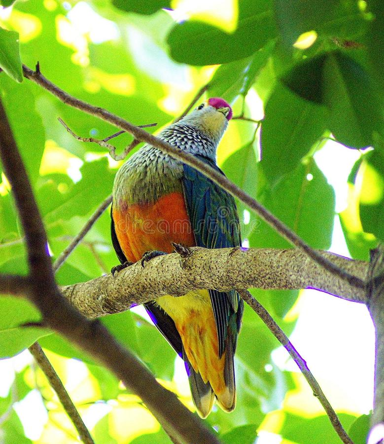 Rose Crowned Fruit Dove. Sometimes Rose-crowned Fruit-Doves congregate in large groups in rainforest trees bearing abundant fruit, but they are usually seen royalty free stock photo