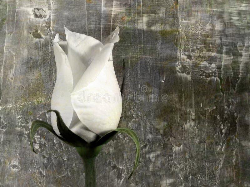 rose crunch zdjęcia stock