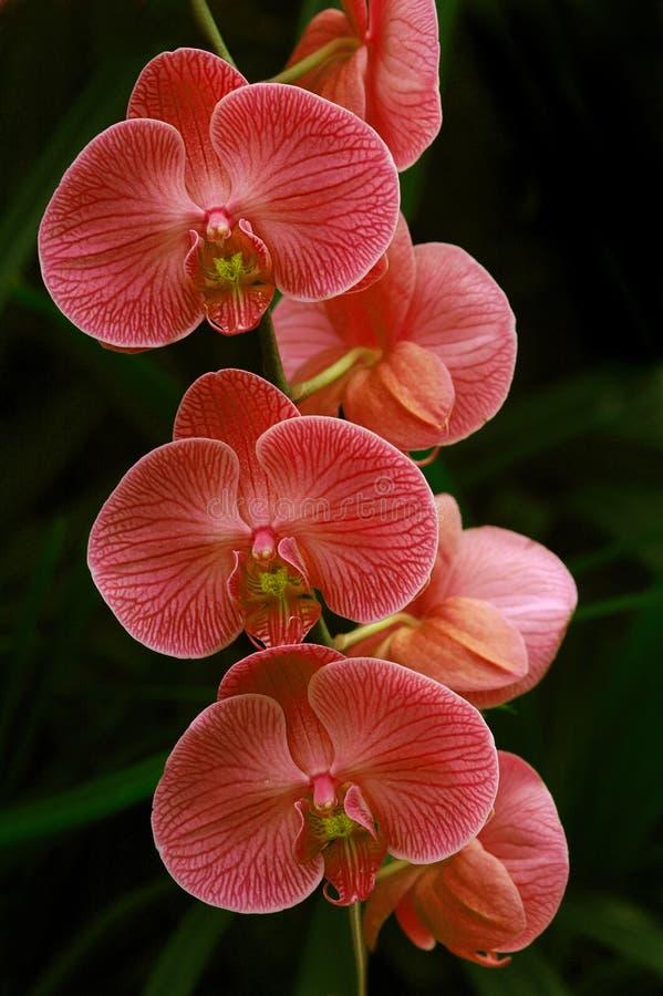 rose d'orchidées photographie stock