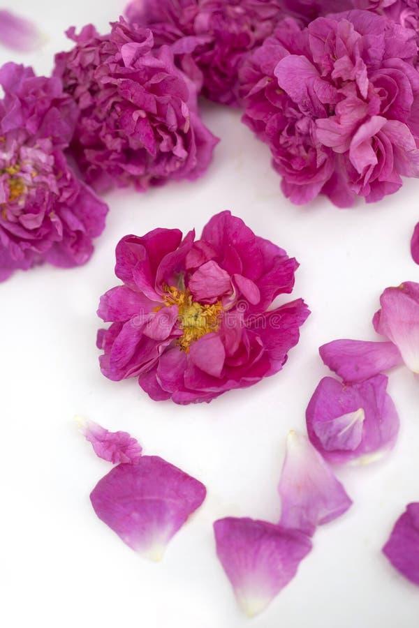 Rose Damascena aislada imágenes de archivo libres de regalías