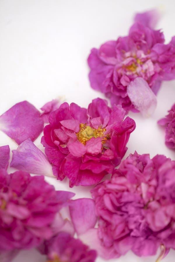 Rose Damascena isolata immagine stock