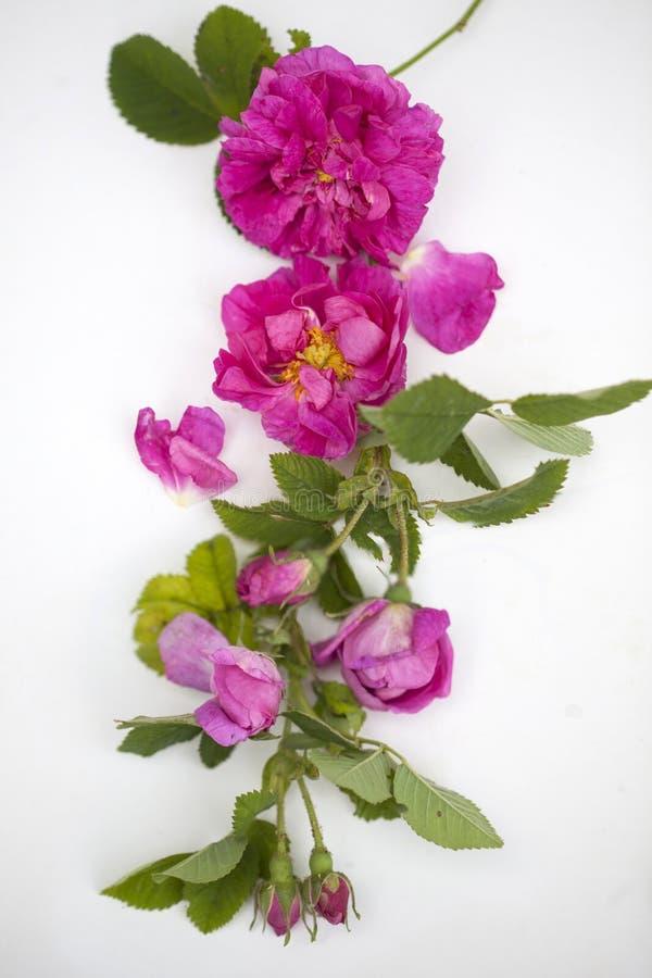 Rose Damascena isolata fotografia stock