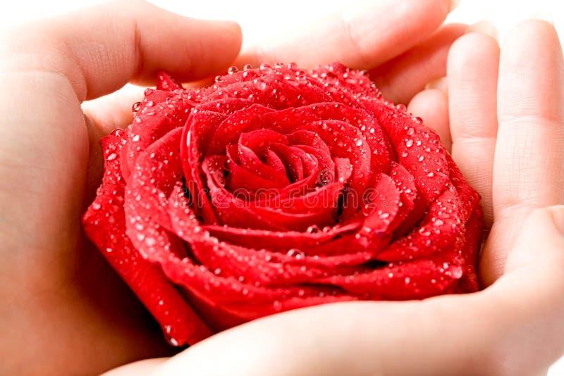 Rose dans des mains photographie stock libre de droits