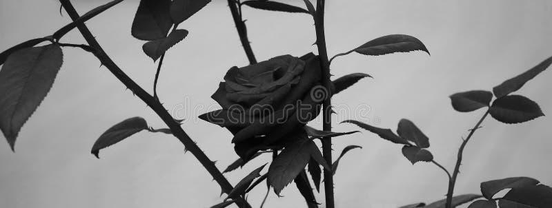 Rose dans des tons gris sur un fond gris image libre de droits