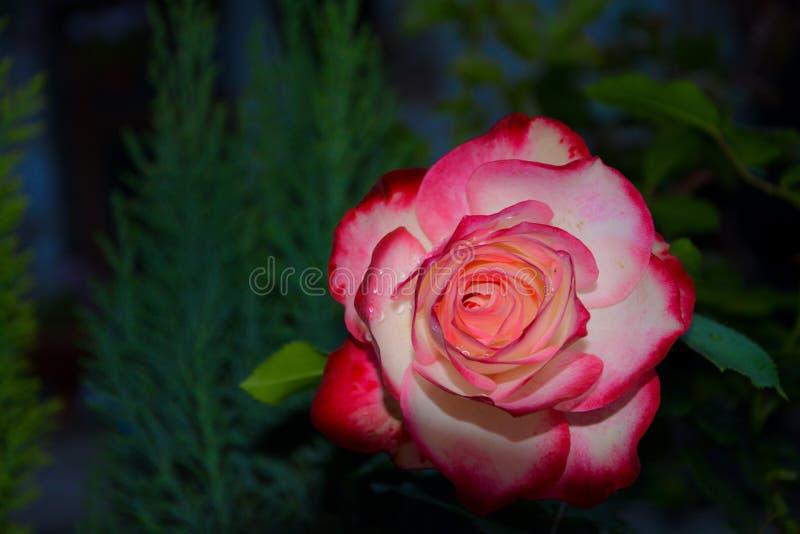 Rose dans l'obscurité images libres de droits
