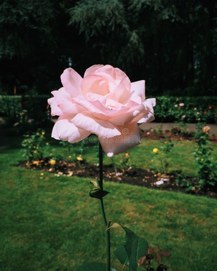 Rose dans la grotte photo libre de droits
