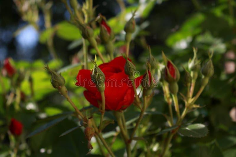 Rose dans le jardin photo stock