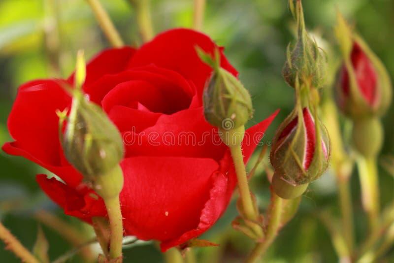 Rose dans le jardin photographie stock libre de droits