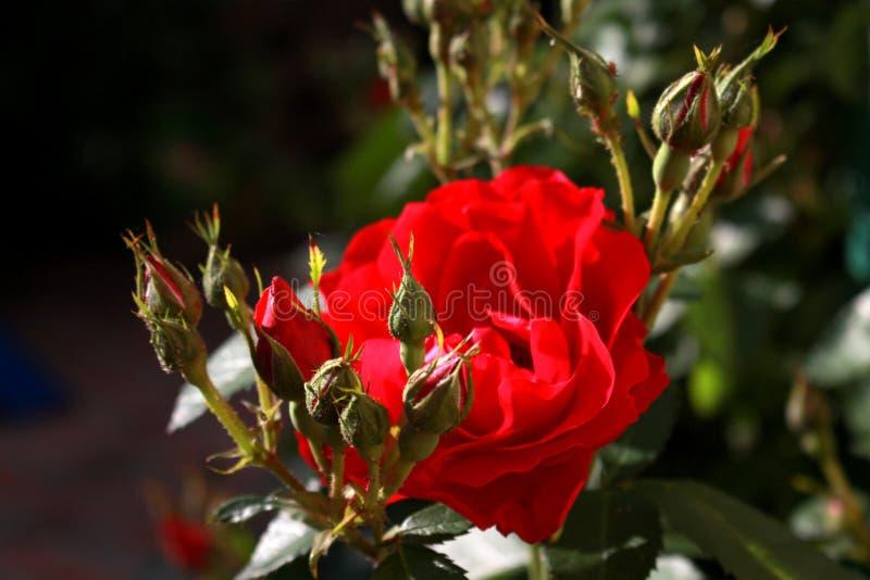 Rose dans le jardin image libre de droits