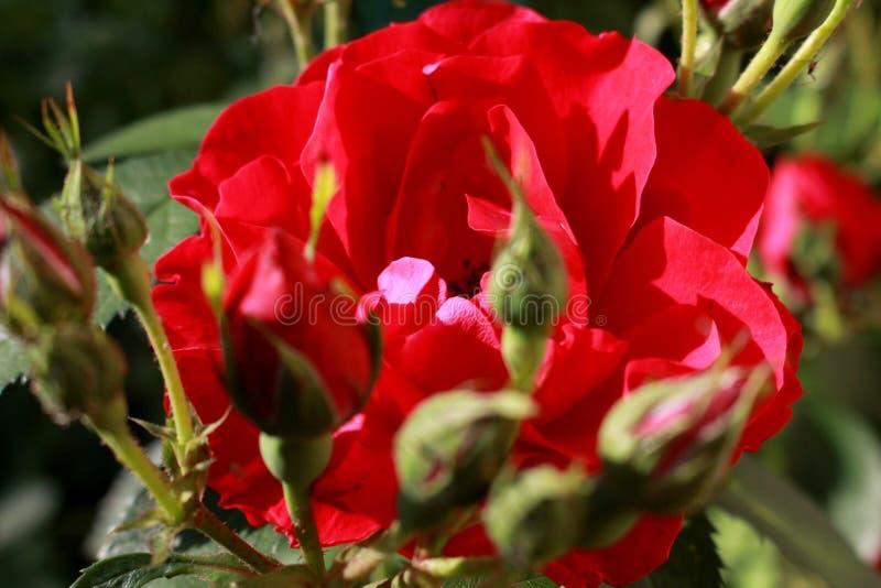 Rose dans le jardin images libres de droits