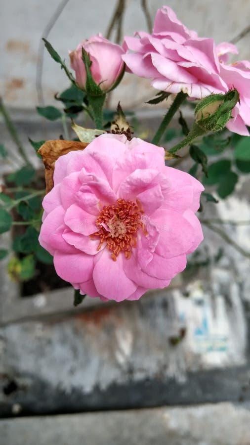 Rose dans ma maison photo libre de droits