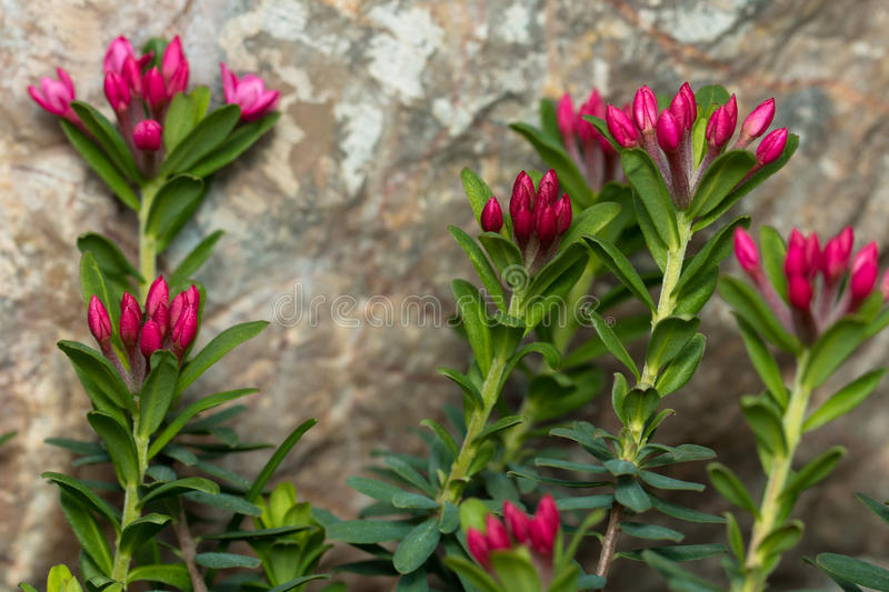 Rose daphne. Daphne cneorum garland flower or rose daphne, is a species of flowering plant in the family Thymelaeaceae, native to the mountains of central and stock image
