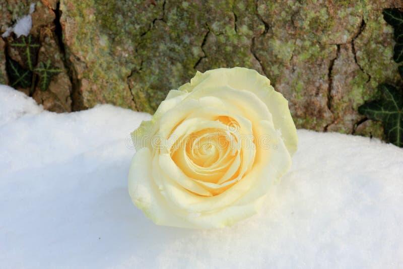 Rose de blanc dans la neige images libres de droits
