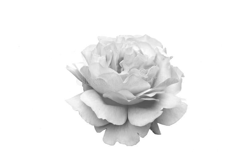 Rose de blanc dans un jardin images stock