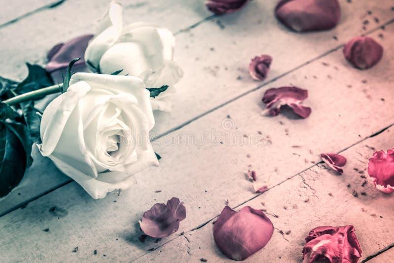 Rose de blanc sur le fond en bois dans l'effet de ton de vintage photos libres de droits
