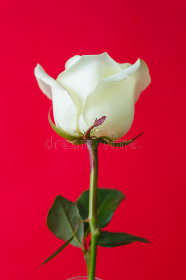 Rose de blanc sur le fond rouge images stock
