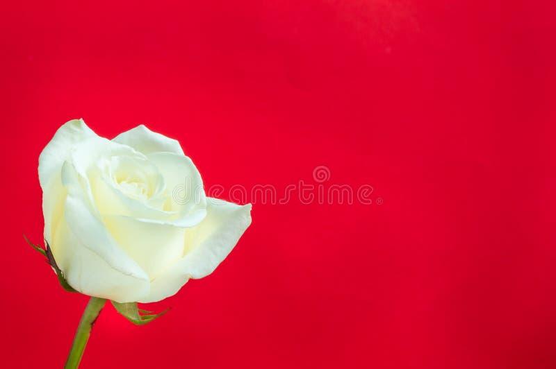 Rose de blanc sur le fond rouge photographie stock libre de droits