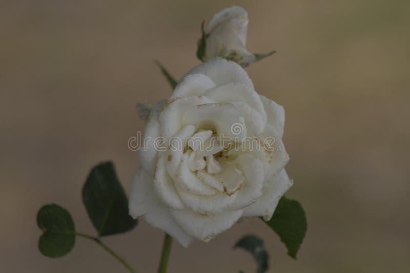 Rose de blanc sur un fond noir photos stock