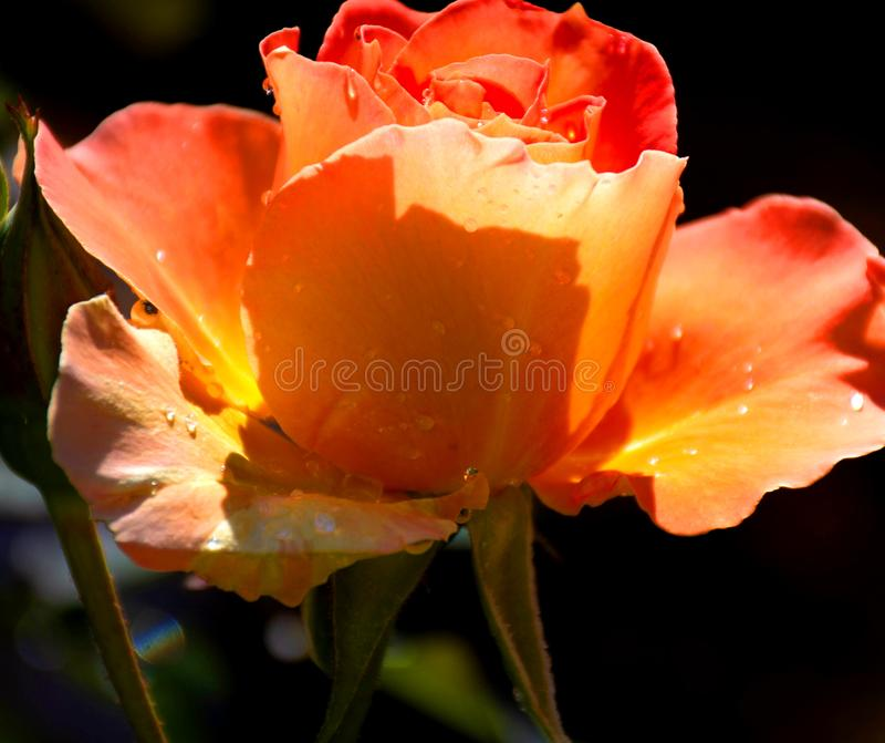 Rose de bourgeonnement avec des baisses de rosée images stock