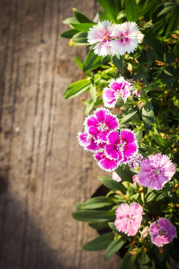 Rose de Chine, fleur rose indienne photo libre de droits